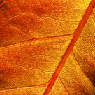 Rose Leaf - Detail