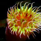 Multi Colored Anemone