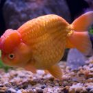 Goldfish-Ranchu