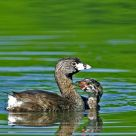 Pied Billed Grebe with Offspring