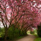 under cherry trees