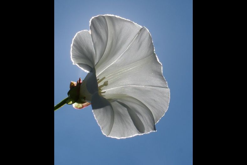 Calystegia sepium (Hedge Bindweed)