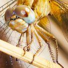 Libelula amarilla