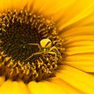 Misumena Vatia on Sunflower