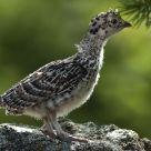 Ptarmigan Chick