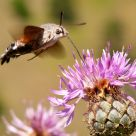 Feeding Hummingbird Moth