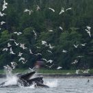 Humpback Whales Bubble Feeding, Alaska