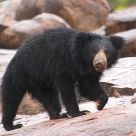 Sloth Bear in Monsoon Rains