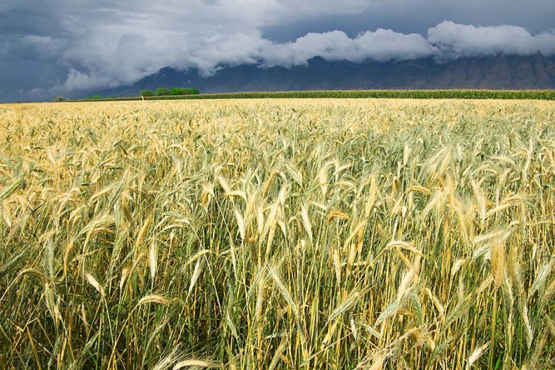 Wheat & Mountains During Storm