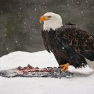 Bald Eagle with Coho Salmon Carcass