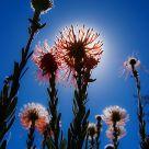 Grevillea Blooming