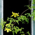 Clematis in a window frame