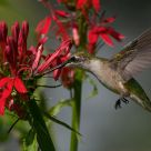 Hummingbird on Lobelia cardinalis