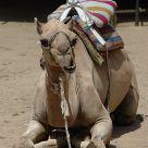 Camel's rest