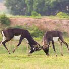 Clash of the Bucks