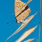 Butterfly in the ear
