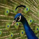 Peafowl