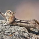 Golden Mantled Ground Squirrel Stretching