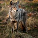 Canadian Coyote