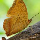 Charaxes marmax
