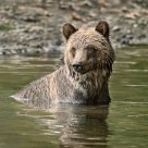 Young Coastal Grizzly Bear