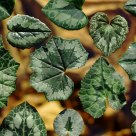 Cyclamen leaves