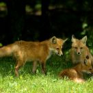 Foxes #1