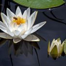 Water Lily and Friend