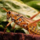 Orange Grasshopper II