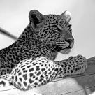 Leopard - Kwetsani Camp