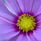 Subtle Radiance - Pink Cosmos