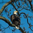 Bald Eagle At Rest