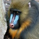 Magnificent Mandril