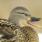 Mallard female