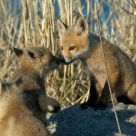 Fox Cubs at Play