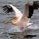 Landing Pelican