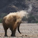 Elephant taking sand bath