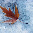 Leaf in The Cold