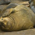 Sandy elephant seal