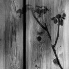 Shadow rose