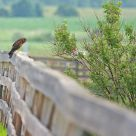 A Day in the Life ... of a Northern Harrier
