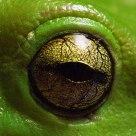 Amphibian eye