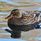 Justa Duck