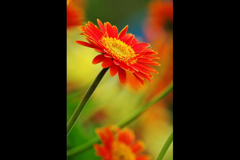 Red Orange Chrysanthemum