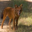 Dhole, the Indian Wild Dog