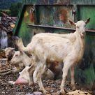 Junkyard Goats