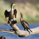 Cormorant x2 on a Log