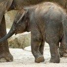 Little 'big' elephant