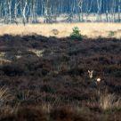 daring deer