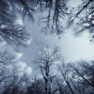 In The Snowy Birch Forest